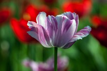 White-purple Tulip Between Red (Tulipa Sp.), Baden-Wurttemberg, Germany, Europe