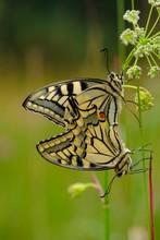 Swallowtail (Papilio Machaon) During Mating, Konigsbrunner Heide, Augsburg, Swabia, Bavaria, Germany, Europe