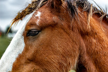 Close Up Of A Horses Face Showing The Eye And A Bit Of Its Mane. A White Stripe Runs Down The Clydesdales Face.
