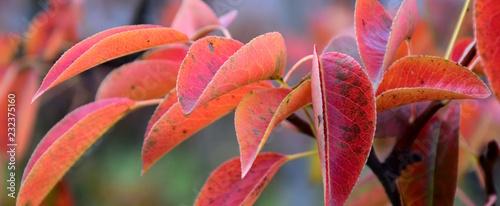 Wunderschöne Färbung der Blätter eines Birnenbaumes im Herbst, Banner