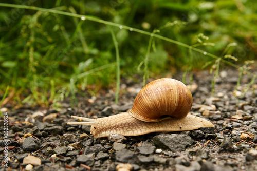 Weinbergschnecke kriecht auf einem Schotterweg
