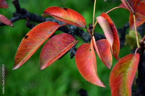 Buntes Herbstlaub am Ast eines Birnenbaumes