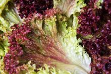 Red Leaf Lettuce, Lollo Rosso ...