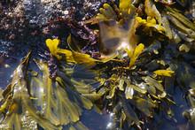 Green Seaweed Algae In Tide Pool At Cobble Beach