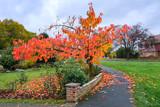 Bird Cherry (Prunus padus) tree in autumn in East Grinstead