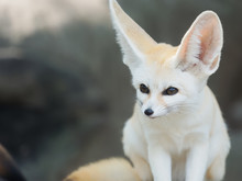 Fennec Fox, Desert Fox, Or Vulpes Zerda, Alert Beautiful Small Animal.