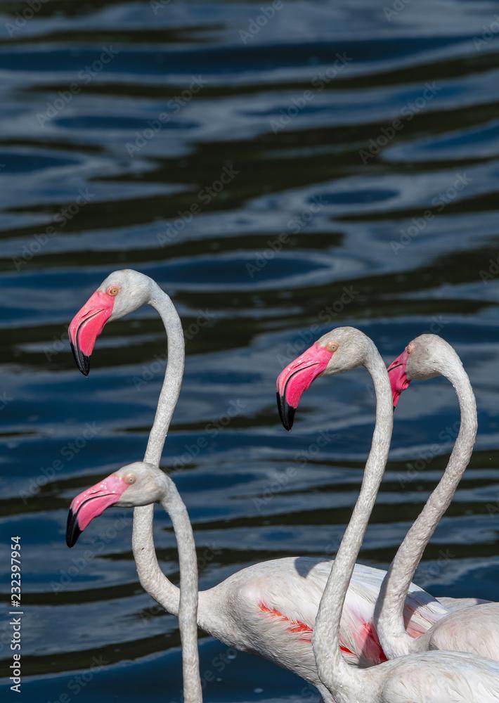 flamingo birds in water