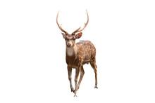 Spotted Deer Or Axis Deer Isol...