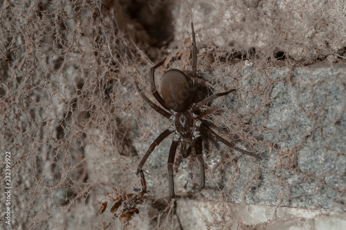 Deurstickers Macrofotografie Southern House Spider (Kukulcania hibernalis)