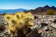 Young Teddy Bear Cholla Cactus...