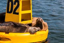 Yellow Buoy With Sunbathing Sea Lions In The Port Of Ensenada, Baja California, Mexico.