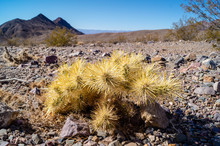Young Teddy Bear Cholla Cactus In Death Valley National Park