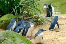 Cute Australian Little Penguins