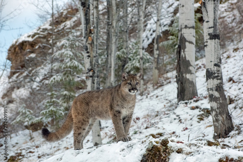 Fotografie, Obraz  Mountain Lion Cub among Birch Trees in Winter 1