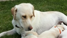 Labrador Dog Nursing Her Adorable Puppies - Lying In The Grass, Looking Over The Pups, Slow Camera Slide
