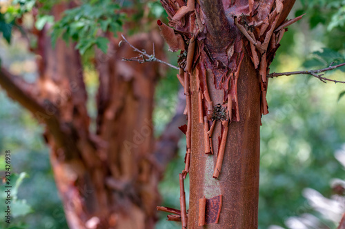 Valokuva  Paperbark Maple Closeup