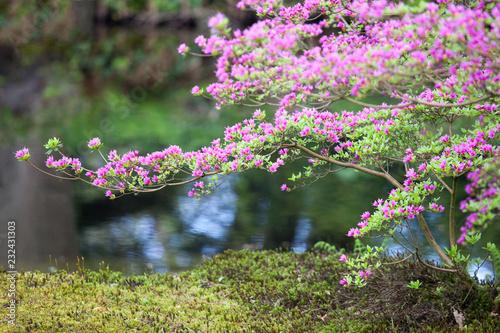 Keuken foto achterwand Azalea Bright magenta rhododendron flowers (azalea flowers)