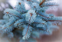 Blue Spruce Branch In Nature