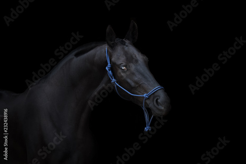 Fototapety, obrazy: Portrait of a beautiful black horse on black background isolated