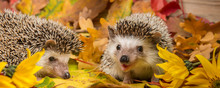 Four-toed Hedgehog (African Py...
