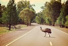 Emu Crossing Road In Flinders ...