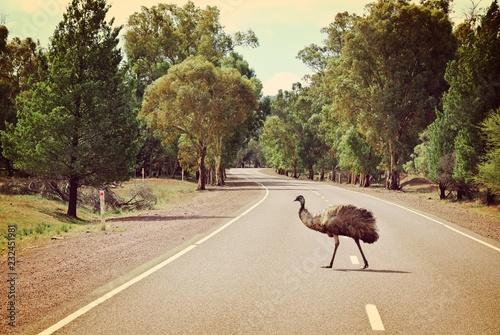 Fotografía  Emu crossing road in Flinders Ranges National Park, Australia