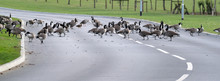 Wild Geese On Pond,  Road And ...