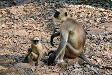 Gray Langur Monkeys