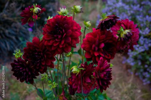 In de dag Dahlia Close up Beautiful Red Dahlia in the garden