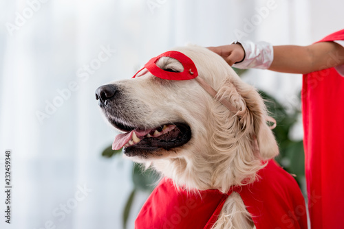 Partial view of hand petting golden retriever dog in red superhero mask Canvas Print