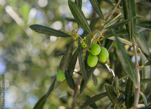 In de dag Olijfboom Olive tree with fruits