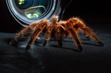 Tarantula In Front Of A Camera Lens