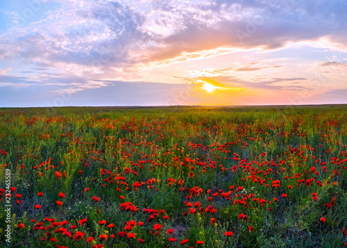 Foto op Plexiglas Weide, Moeras Spring steppe at sunset. Blooming poppy steppe. Poppies bloom, poppy at sunset
