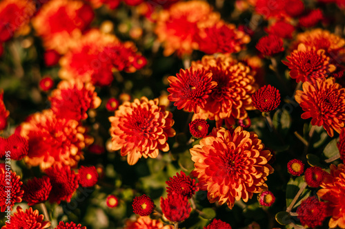 Foto op Canvas Bloemen Red chrysanthemum flower as fall perfect background.