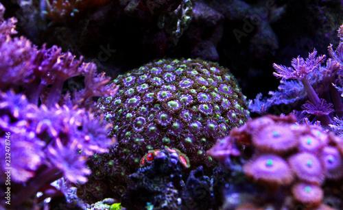 Staande foto Koraalriffen Colorful zoanthus polyp aquacultured in reef aquarium