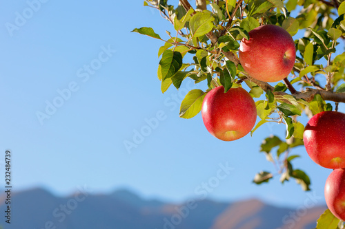 Apples of the Fuji variety in the apple orchard against the blue sky and mountains Canvas