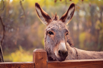 smiješni magarac pripitomljeni član obitelji konja.