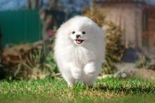 Cute White Spitz Dog Runs Alon...