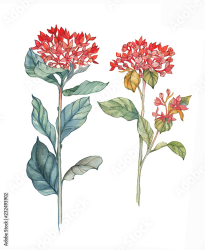 Hand-drawn watercolor illustration of the isolated bouvardia flowers. Tender spring drawing exotic flowers on the white background