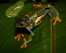 Mating Red-eyed Tree Frogs, Arenal Rainforest, Costa Rica