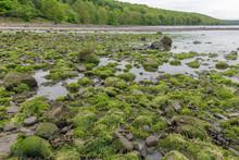 Rocks Covered With Alga At Coast Firth Of Forth, Scotland