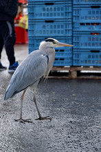 A Heron In The City