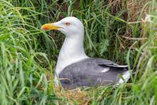 Brooding Seagull At Inchcolm Island Near Edinburgh In Scotland