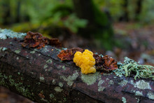 Nice Fungus That Grows On Dead Wood. Photographed In A Chestnut Forest.