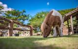 Dwarf Horse Animal