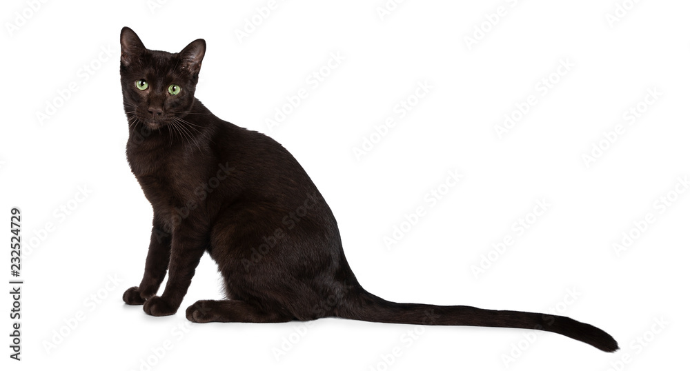 Fototapety, obrazy: Young Havana Brown cat kitten sitting side ways looking straight at camera with mesmerising green eyes and long tail behind body. Isolated on white background.
