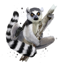 A Ring-tailed Lemur. Watercolo...