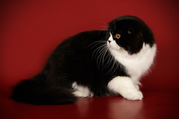 Scottish fold longhair cat on colored backgrounds