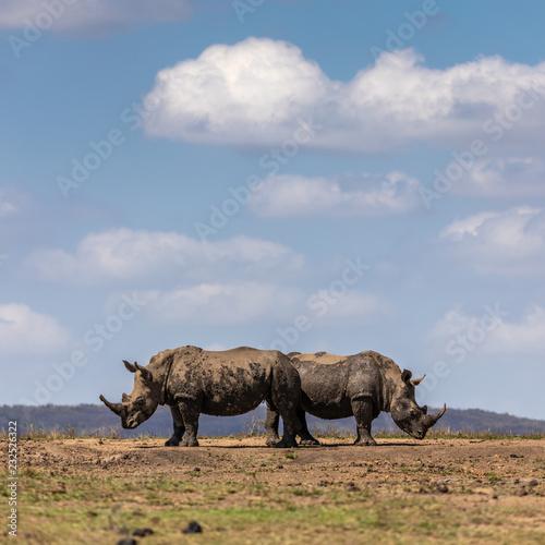 Fotografija  Pair of white rhino (Ceratotherium simum)