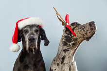 Two Dogs Posing In Christmas Hats